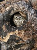 Little Owl in a Hole in a Hollow Tree (Athene Noctua), Europe Impressão fotográfica por Louise Murray