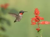 Male Ruby-Throated Hummingbird (Archilochus Colubris) at Salvia Impressão fotográfica por Steve Maslowski