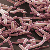 Bacillus Subtilis is a Rod Shaped, Gram-Positive Bacteria, SEM Valokuvavedos tekijänä David Phillips