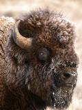 Bull Bison Head in Winter (Bison Bison), North America Reproduction photographique par Tom Walker