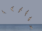 Pélicans Reproduction photographique par Marli Miller