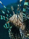 The Highly Venomous Lionfish or Devil Filefish (Pterois Miles) Impressão fotográfica por Louise Murray