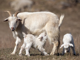 Domestic Goat (Capra Aegagrus Hircus) Nursing One of its Babies in a Barnyard Impressão fotográfica por Joe McDonald
