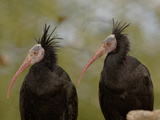 Bald Ibis or Waldrapp (Geronticus Eremita) an Endangered Species, Captive Reproduction photographique par Dave Watts