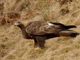 Golden Eagle (Aquila Chrysaetos), Pyrenees, France Reproduction photographique par Dave Watts