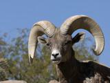 Desert Bighorn Sheep Reproduction photographique par Tom Walker