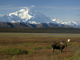 Bull Moose on the Tundra with Mt. Mckinley in The Background, Alaska, USA Reproduction photographique par Tom Walker