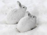 Snowshoe Hares in Winter Pelage Camouflaged in Snow (Lepus Americanus), Alaska, USA Reproduction photographique par Tom Walker