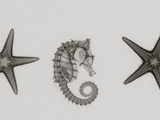 X-Ray of Seastars and a Seahorse Fotografie-Druck von George Taylor