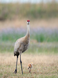Sandhill Crane with Chick (Grus Canadensis), Florida, USA Photographic Print by Arthur Morris