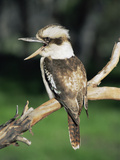 Laughing Kookaburra (Dacelo Novaeguineae), Victoria, Australia Reproduction photographique par Dave Watts