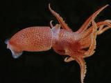 Bioluminescent Cock-Eye Squid (Histioteuthis Heteropsis) Lámina fotográfica por David Wrobel