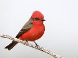 Vermilion Flycatcher Male (Pyrocephalus Rubinus), Laredo, Texas, USA Reproduction photographique par Arthur Morris