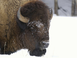 Bison Head (Bison Bison) in Snow, Yellowstone National Park, USA Reproduction photographique par Dave Watts