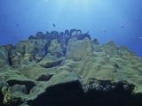 Star Coral (Montastrea), Bonaire, Caribbean Lámina fotográfica por David Wrobel