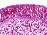 Ciliated Pseudostratified Columnar Epithelium from the Human Bronchial Mucosa, H&E Stain, LM X100 Reproduction photographique par Gladden Willis