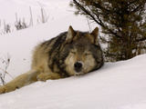 Gray Wolf (Canis Lupus) Sleeping in Snow Reproduction photographique par Dave Watts
