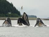 Humpback Whale Bubblenet Feeding, Reproduction photographique par Tom Walker