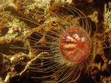 Benthic Hydromedusa (Ptychogastria Polaris) Phylum Cnidaria Lámina fotográfica por David Wrobel