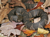 Northern Water Snake (Nerodia Sipedon), Family Colubridae, Eastern USA Lámina fotográfica por David Wrobel