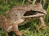 Wood Frog (Rana Sylvatica), Eastern and Northern North America Lámina fotográfica por David Wrobel