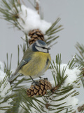 Blue Tit (Parus Caeruleus) on a Snowy Branch During a Snowstorm with its Feathers Fluffed Reproduction photographique par Dave Watts