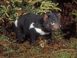 Tasmanian Devil (Sarcophilus Harrisii), Tasmania, Australia Lámina fotográfica por Dave Watts