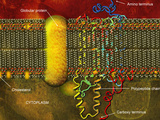 Biomedical Illustration of the Lipid Bilayer Cell Membrane Reproduction photographique par Carol & Mike Werner