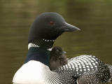 Common Loon with Chick Resting on its Back (Gavis Immer) Reproduction photographique par Tom Walker