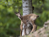 Young Isard or Pyrenean Chamois (Rupicapra Rupicapra Pyrenaica), Pyrenees, France Fotografie-Druck von Dave Watts