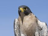Peregrine Falcon (Falco Peregrinus), San Juan Mountains, New Mexico Reproduction photographique par Tom Walker