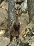Isard or Pyrenean Chamois (Rupicapra Rupicapra Pyrenaica), Pyrenees, France Fotografie-Druck von Dave Watts