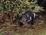 Tasmanian Devil (Sarchophilus Harrisii), Tasmania, Australia Reproduction photographique par Dave Watts