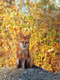 Red Fox (Vulpes Vulpes), Alaska, USA Reproduction photographique par Tom Walker