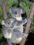 Koala (Phascolarctos Cinereus) Mother and Baby, Victoria, Australia Reproduction photographique par Dave Watts