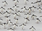 Rockhopper Penguins (Eudyptes Chrysocome) Crossing a Sandy Beach Between the Ocean Fotografie-Druck von Solvin Zankl