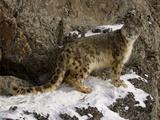 Snow Leopard (Panthera Uncia) on a Snowy Cliff, Captive Reproduction photographique par Dave Watts