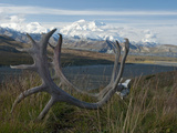 Shed Caribou Antlers on the Tundra in Front of Mt. Mckinley, Denali National Park, Alaska, USA Reproduction photographique par Tom Walker