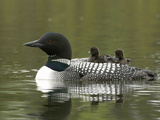 Common Loon with Chicks Riding on its Back (Gavia Immer) Reproduction photographique par Tom Walker