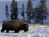 Bison (Bison Bison) Walking in Deep Snow, Yellowstone National Park, USA Reproduction photographique par Dave Watts