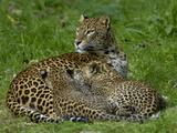 Sri Lankan Leopard (Panthera Pardus Kotiya) Mother and Cubs, Captive Reproduction photographique par Dave Watts