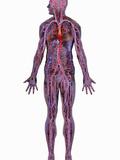 Human Cardiovascular System Reproduction photographique par Carol & Mike Werner