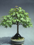 A 30-Year Old Bonsai Japanese Maple (Acer Palmatum) Photographic Print by  Consumer Institute/NSIL