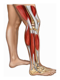 Illustration of the Muscles of the Right Leg, Including the Gastrocnemius, Biceps Fermoris Giclee Print by  Nucleus Medical Art