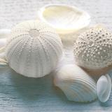 Driftwood Shells IV Prints by Bill Philip