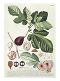 Ficus (Fig) (Coloured Engraving) Giclée-tryk af Georg Dionysius Ehret