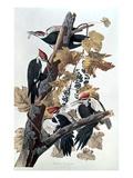 Pileated Woodpeckers Reproduction procédé giclée par John James Audubon