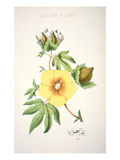 A Cotton Plant (Colour Litho) Giclee Print by  American