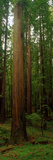 Giant Redwood Trees Ave of the Giants Redwood National Park Northern CA Valokuvavedos