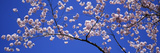 Cherry Blossoms Washington DC USA Fotografisk tryk af Panoramic Images,